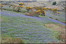 NY1618 : Bluebell Fields by Anne Burgess