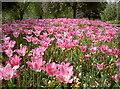 ST5971 : Full bloom by Neil Owen