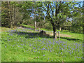 SE6969 : A late show of bluebells, The Yorkshire Arboretum by Pauline E