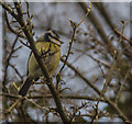 SP0511 : Blue Tit in Garden in Chedworth, Gloucestershire by Christine Matthews