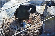 NU2135 : Shag with three eggs, Inner Farne by Jim Barton