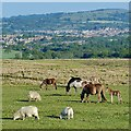 ST1299 : Horses and sheep grazing on Gelligaer Common by Robin Drayton
