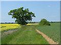 SU9075 : Single oak by Alan Hunt