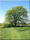 NY9469 : A fine tree by the Hadrian's Wall Path by David Purchase