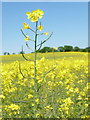 SU0018 : Sixpenny Handley: a rapeseed stalk stands out by Chris Downer