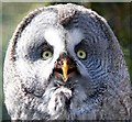 SJ4170 : Great Grey Owl at Chester Zoo by Jeff Buck
