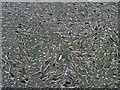 TA3107 : Feathers and algae in the boating lake by Steve  Fareham