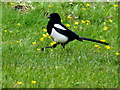H4572 : Eurasian Magpie, Omagh by Kenneth  Allen