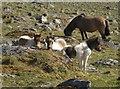 SX5488 : Ponies on Coombe Down by Derek Harper