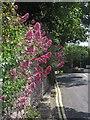 SX9065 : Valerian, St Vincent's Road, Torquay by Derek Harper