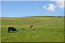 SK1068 : Cattle at Sterndale Hollow by Graham Horn