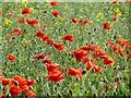 NT5170 : Poppies, Bolton by Richard Webb