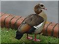 SU9572 : Egyptian Goose by Alan Hunt