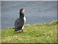 HP5916 : Puffin at Toolie by Oliver Dixon