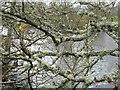 NH4754 : Lichens on Alder by M J Richardson