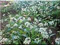 NU0937 : Wild Garlic in woodland near Smeafield by Graham Robson