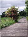 SJ9793 : Hawthorn Tree by Stephen Burton