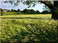 NZ0762 : Field of Barley, Eltringham by Clive Nicholson