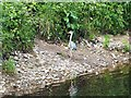 NZ1164 : Heron on the banks of the Tyne by Oliver Dixon