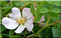 J4582 : Dog rose, Helen's Bay by Albert Bridge