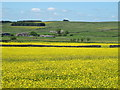 NY8555 : Buttercup meadows south of Bull's Hill by Mike Quinn