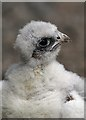 NT6713 : A peregrine chick at Jedburgh Deer and Farm Park by Walter Baxter