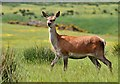 NT6713 : A red deer at Jedburgh Deer and Farm Park by Walter Baxter