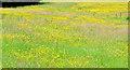 D0902 : Buttercups, Ballymena (2013-1) by Albert Bridge