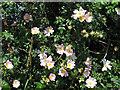TL7028 : Flowering Dog Rose in hedgerow along bridleway, Shalford by Roger Jones