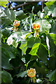 TQ3398 : Tulip Tree, Walled Garden, Forty Hall, Enfield by Christine Matthews
