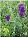 TA1974 : Northern marsh orchids, Bempton cliffs by Pauline E