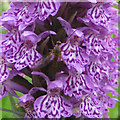 TA2073 : Insect on orchid, Bempton cliffs by Pauline E