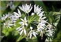 SS9232 : Wild garlic near Bridgetown by Steve Daniels