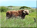 NZ2799 : Highland cattle at Hadston Links by Oliver Dixon