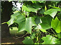 TQ1877 : Leaves of American tulip tree in Kew Gardens by David Hawgood
