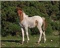 SX5759 : Foal on Crownhill Down by Derek Harper