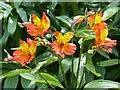 SN5118 : Alstroemeria in the Double Walled Garden by Robin Drayton