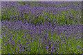 TL1932 : Lavender, Cadwell Farm, Hitchin Lavender, Hitchin, Hertfordshire by Christine Matthews