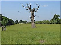 SU9673 : Dead oak tree by Alan Hunt
