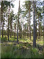 SU1010 : Boveridge Heath, plantation by Mike Faherty