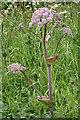 NJ2846 : Wild Angelica (Angelica sylvestris) by Anne Burgess