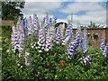 SE9364 : Delphinium display, Sledmere House by Pauline E