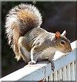 SJ9398 : Squirrel at Portland Basin by Gerald England