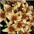 SP9211 : Exuberant lilies by Rob Farrow