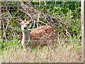 NR7386 : Deer at Turbiskill by sylvia duckworth