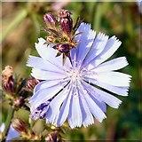 SJ9594 : Blue flower by Gerald England