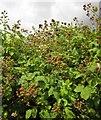 SX9165 : Blackberries, rear of Empire Road, Torquay by Derek Harper