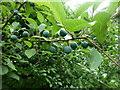 SK9830 : Hedgerow plenty 2 by Bob Harvey