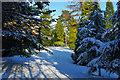 TQ2733 : Conifers, Tilgate Park by Robin Webster