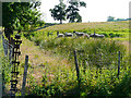 NY3872 : Sheep standing by a ditch by Rose and Trev Clough